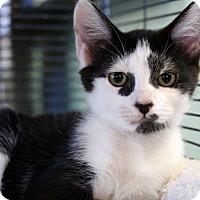 Adopt A Pet :: Blimpie - Sarasota, FL