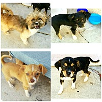 Adopt A Pet :: 8 wk old PUPPIES FOSTER NEEDED - Redondo Beach, CA
