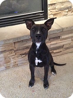 Pit Bull Terrier/Bull Terrier Mix Dog for adoption in Fort Collins, Colorado - Stella (FORT COLLINS)