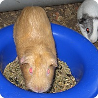 Guinea Pig for adoption in Christmas, Florida - Guinea Pigs :o)