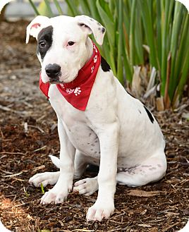 Pit Bull Terrier Puppy for adoption in Redondo Beach, California - Maximus-ADOPT Me!