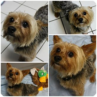 Yorkshire Terrier Nj Jax   Adopted D...