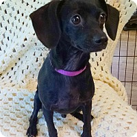 Chihuahua/Dachshund Mix Puppy for adoption in Palestine, Texas - Cricket