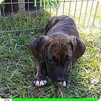 Adopt A Pet :: Tipsy - Pensacola, FL