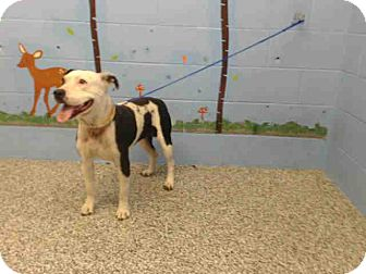 Pit Bull Terrier Mix Dog for adoption in San Bernardino, California - URGENT on 10/24 SAN BERNARDINO