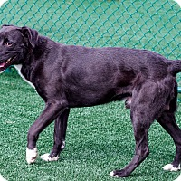 Border Collie/Shepherd (Unknown Type) Mix Dog for adoption in Lincolnton, North Carolina - Boss