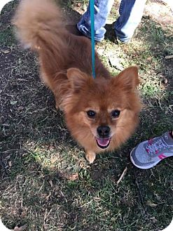 Pomeranian Dog for adoption in Dallas, Texas - Borko
