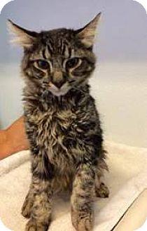 Domestic Mediumhair Cat for adoption in Glendale, Arizona - Comet