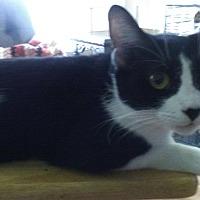 Domestic Shorthair Kitten for adoption in Sarasota, Florida - Umbro