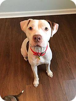Pit Bull Terrier Mix Dog for adoption in Gilbertsville, Pennsylvania - Elsa
