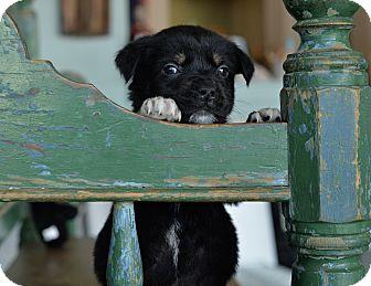 Shepherd (Unknown Type) Mix Puppy for adoption in San Antonio, Texas - Humphrey