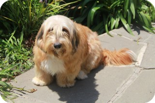 Bearded Collie/Lhasa Apso Mix Dog for adoption in Norwalk, Connecticut - Bobbie Sue - adoption pending