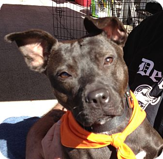 American Pit Bull Terrier Mix Dog for adoption in Lapeer, Michigan - Blair