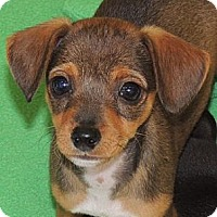 Adopt A Pet :: Pip - La Habra Heights, CA