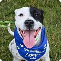 Adopt A Pet :: Patch - Piqua, OH