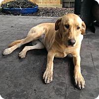 Adopt A Pet :: Khaleesi - Houston, TX