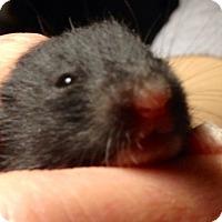 Adopt A Pet :: Onyx - Bensalem, PA