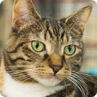 Adopt A Pet :: Mau - Great Falls, MT