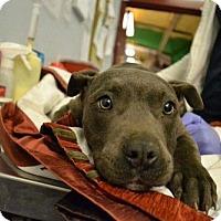 American Staffordshire Terrier Mix Dog for adoption in Whitestone, New York - Zorenzo