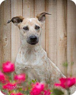 Australian Cattle Dog Mix Dog for adoption in San Antonio, Texas - HAILEY