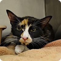 Oriental Cat for adoption in Dallas, Texas - Jana