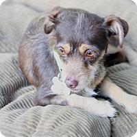 Adopt A Pet :: Whitney - Woonsocket, RI