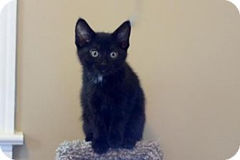Domestic Shorthair Kitten for adoption in Franklin, Tennessee - BLUE BAYOU