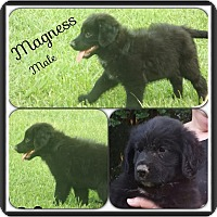 Adopt A Pet :: Magness Adoption pending - Manchester, CT