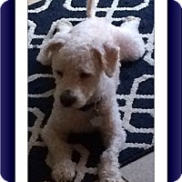 Bichon Frise Dog for adoption in Tulsa, Oklahoma - Adopted!!Oscar - IN