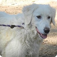 Great Pyrenees Dog for adoption in Granite Bay, California - ALEX