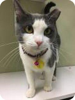 Domestic Shorthair Cat for adoption in Columbus, Georgia - Jonie 4427