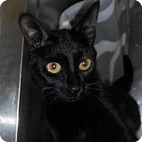 American Shorthair Cat for adoption in Hilton Head, South Carolina - Silk