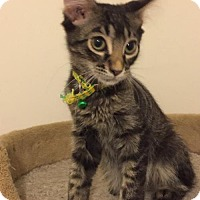 Domestic Mediumhair Kitten for adoption in St.Ann, Missouri - Monroe