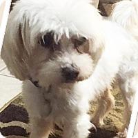 Adopt A Pet :: Beau - Dallas, TX