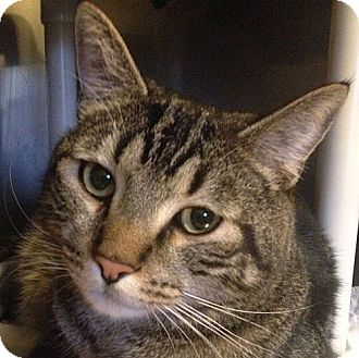 Domestic Shorthair Cat for adoption in Port Angeles, Washington - Cheveyo