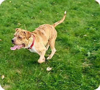 Bulldog Mix Dog for adoption in Lima, Ohio - Mango (Jimmy Choo)