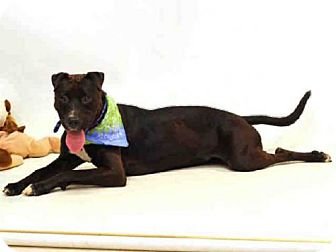 Shar Pei/Pit Bull Terrier Mix Dog for adoption in Sanford, Florida - PEPPERMINT