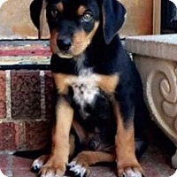 Labrador Retriever/Rottweiler Mix Dog for adoption in Royal Palm Beach, Florida - Brody
