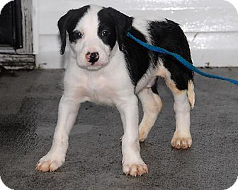 Border Collie/Retriever (Unknown Type) Mix Puppy for adoption in Freeport, New York - T.J.