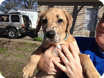 Catahoula Leopard Dog Mix Puppy for adoption in kennebunkport, Maine - Sasha - PENDING