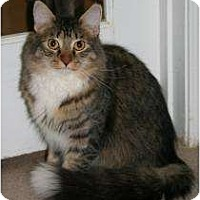 Domestic Mediumhair Cat for adoption in Marietta, Georgia - Iggy