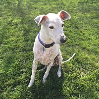 Italian Greyhound/Terrier (Unknown Type, Medium) Mix Dog for adoption in St. Charles, Illinois - BonBon