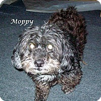 Adopt A Pet :: Moppy - Wilmington, DE