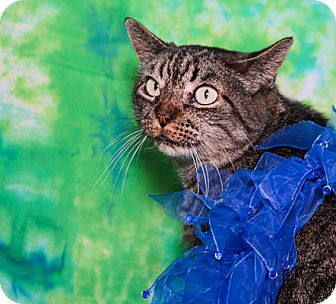 Domestic Shorthair Cat for adoption in Colorado Springs, Colorado - Pippin