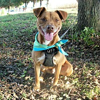 American Pit Bull Terrier/Labrador Retriever Mix Dog for adoption in Princeton, Kentucky - Tyson