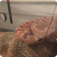 Adopt A Pet :: Corn snake - Bristow, VA