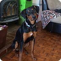 Adopt A Pet :: Bam - Reno, NV