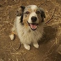 Australian Shepherd Dog for adoption in Pt. Richmond, California - OWEN