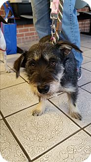 Schnauzer (Standard)/Terrier (Unknown Type, Medium) Mix Dog for adoption in joliet, Illinois - BROWNIE