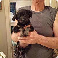 Adopt A Pet :: Midge - Danbury, CT